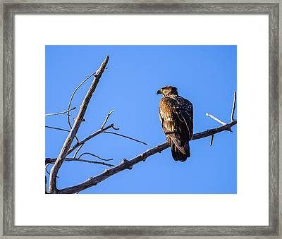 Juvenile Bald Eagle In Nature Framed Print by Vishwanath Bhat