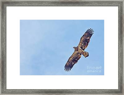 Juvenile Bald Eagle Framed Print by Natural Focal Point Photography