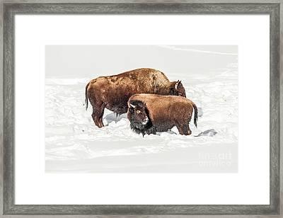 Juvenile Bison With Adult Bison Framed Print
