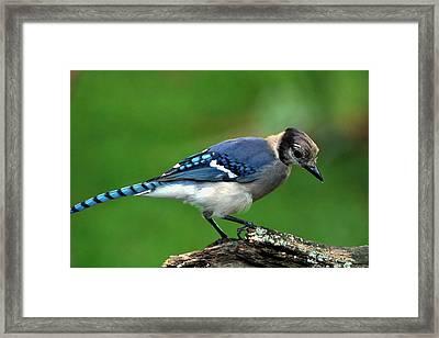 Juvenile Blue Jay  Framed Print