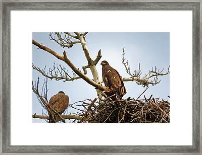 Juvenile Eagles Framed Print