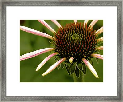 Juvenile Echinacea Framed Print by Jean Noren