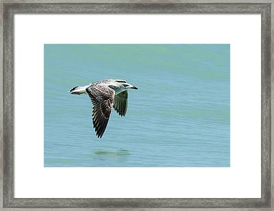 Juvenile Great Black-backed Gull In Flight Framed Print by Dawn Currie