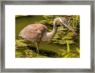 Juvenile Great Blue Heron Framed Print