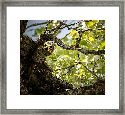 Juvenile Great Horned Owl // Whitefish, Montana  Framed Print
