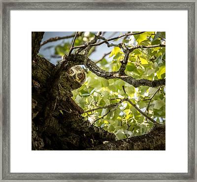 Juvenile Great Horned Owl // Whitefish, Montana  Framed Print