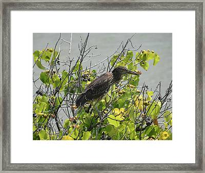 Framed Print featuring the photograph Juvenile Heron In Tree by Pamela Walton