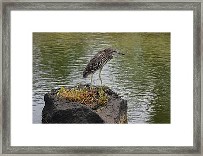 Framed Print featuring the photograph Juvenile Heron by Pamela Walton