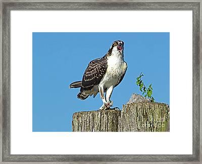 Juvenile Osprey#1 Framed Print by Geraldine DeBoer