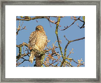 Juvenile Red-shouldered Hawk Framed Print by Loree Johnson