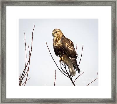 Juvenile Rough-legged Hawk  Framed Print by Ricky L Jones