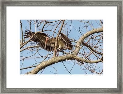 Juvenile White Ibis Balancing Act Framed Print