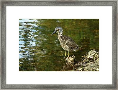 Juvenile Yellow Crowned Night Heron Framed Print