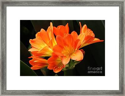 Kaffir Lily #2 Framed Print