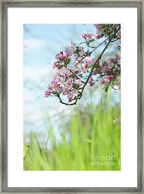 Kaido Crabapple Framed Print by Tim Gainey