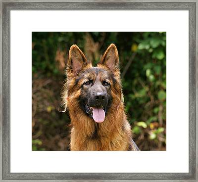 Kaiser - German Shepherd Framed Print by Sandy Keeton