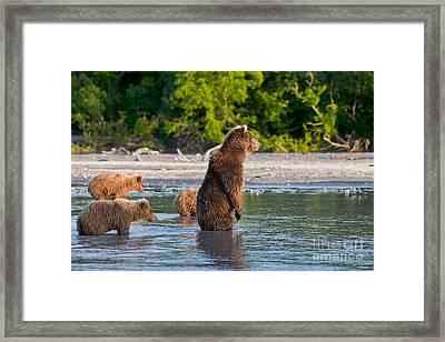 Kamchatka Brown Bear Framed Print by Sergey  Krasnoshchekov