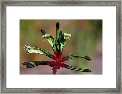 Kangaroo Paw Manglesii Framed Print by Tony Brown