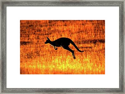 Kangaroo Sunset Framed Print