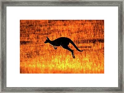 Kangaroo Sunset Framed Print by Bruce J Robinson