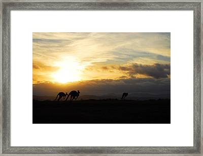 Kangaroos And Sunset Framed Print by Michael Warford