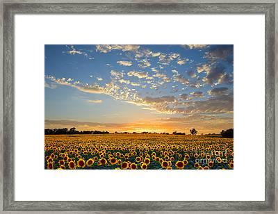 Kansas Sunflowers At Sunset Framed Print