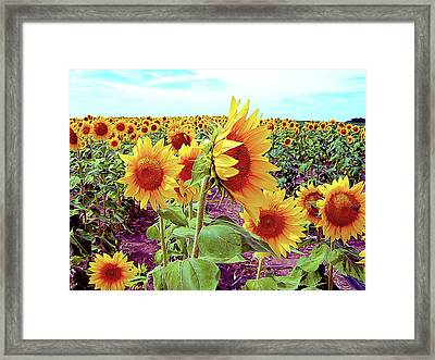 Kansas Sunflowers Framed Print