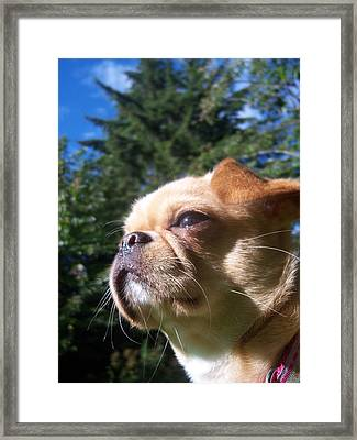 Karma The Pug Chihuahua Framed Print by Ken Day