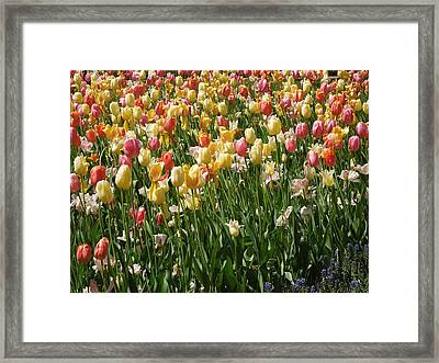 Kathy's Tulips Framed Print by Peg Toliver