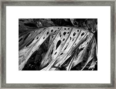 Kauai Old Palm Black And White Framed Print by Jon Cretarolo