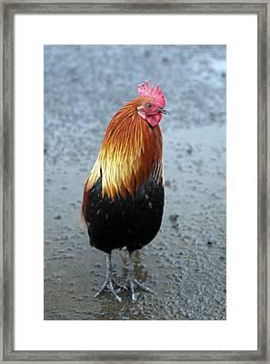 Kaui Rooster Framed Print