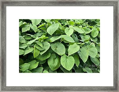 Kava Foliage Framed Print by Inga Spence