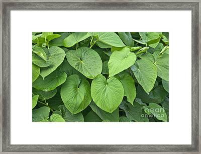 Kava Plants Framed Print by Inga Spence
