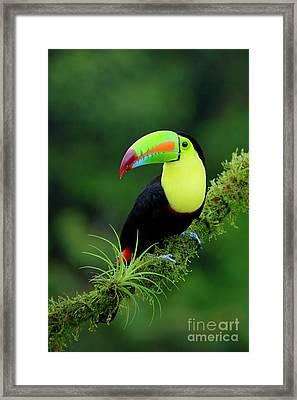 Keel-billed Toucan Framed Print