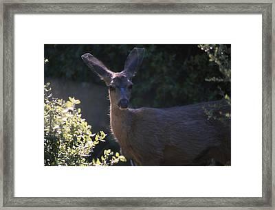 Keen Senses - Mule Deer Framed Print by Soli Deo Gloria Wilderness And Wildlife Photography