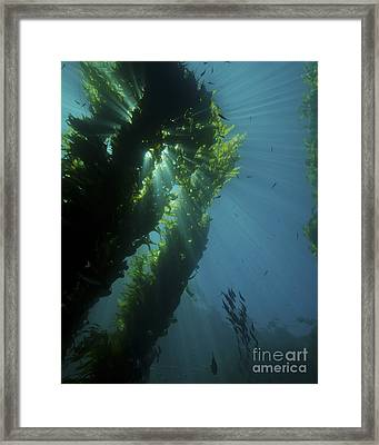 Kelp Forest With School Of Fish Framed Print