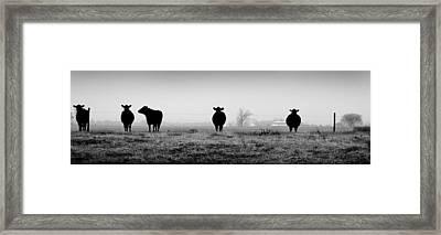 Kentucky Cows Framed Print by Todd Fox