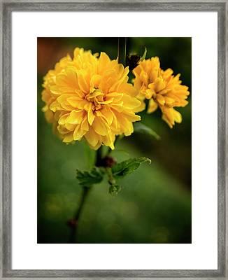 Kerria Framed Print by Chrystal Mimbs