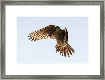 Framed Print featuring the photograph Kestrel Hover by Mike Dawson