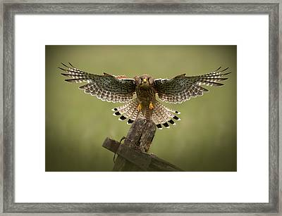 Kestrel On Final Approach Framed Print
