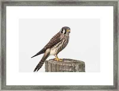 Framed Print featuring the photograph Kestrel Portrait by Robert Frederick