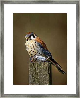 Kestrel With Prey Framed Print