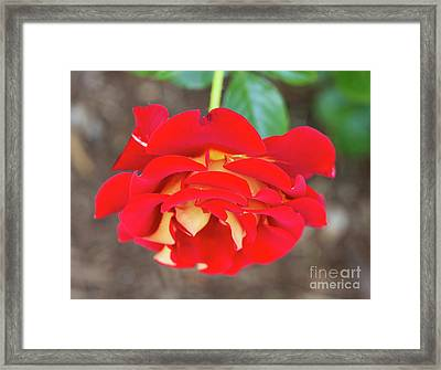 Ketchup And Mustard Rose Framed Print by Louise Heusinkveld