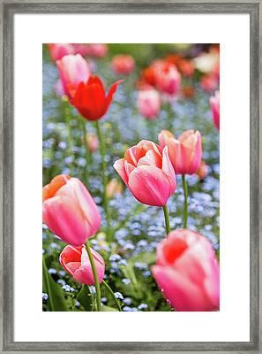 Keukenhof Tulips - Amsterdam Framed Print