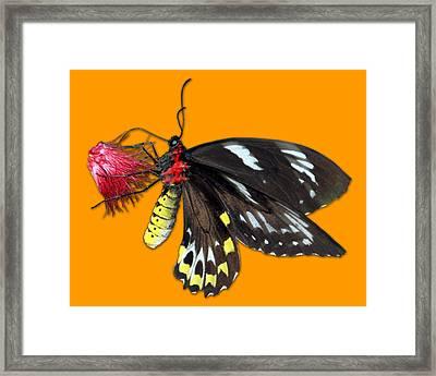 Key West Butterfly 12 Framed Print by Bob Slitzan