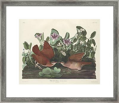 Key-west Dove Framed Print