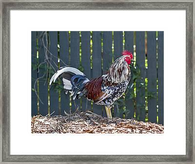 Key West Rooster 2 Framed Print by Bob Slitzan