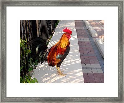 Key West Rooster Framed Print