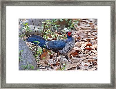 Khalij Pheasant In The Wild Framed Print by Pravine Chester