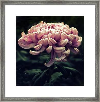 Kiku Framed Print by Jessica Jenney